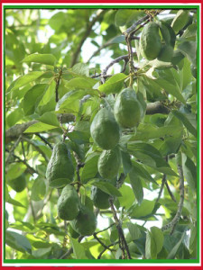 avocado tree with fruits in mexico