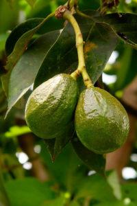 Aguacates - avocado 4